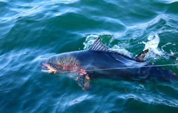Boatside Bluefin Tuna