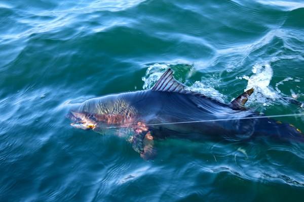 Boatside Bluefin Tuna